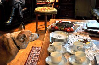 Icelandic sheepdog w.cheesecake